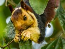 Étroitement : Ratufa indica ou mâcher d'écureuil de Malabar photos stock