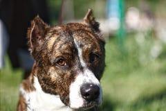 ?troitement vers le haut d'un chien avec les oreilles cultiv?es image stock