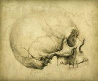 Étude de crâne illustration libre de droits