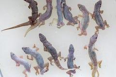 Étude des parasites en PS de Hemidactylus Dans le laboratoire photo stock