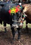 Événement folklorique avec des vaches photographie stock libre de droits