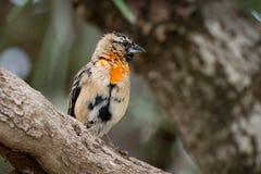 Évêque rouge du sud masculin dans le plumage de transition photo stock