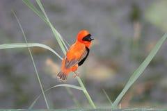 Évêque rouge méridional Photos libres de droits