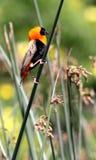 Évêque rouge On A Reed Photo stock