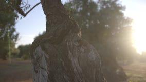 Évasez entre les branches des arbres des olives banque de vidéos