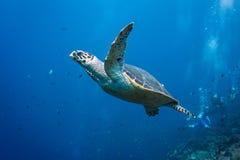 Évasion de tortue Images stock