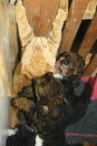Évasion du chaton de l'assaut des chiots Photo stock