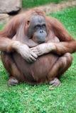 Éventez la pose de singe Image libre de droits