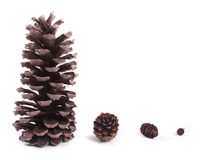 Évolution de cône de pin Image stock