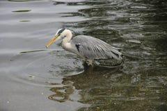 Éxito de la caza de Grey Heron Imagenes de archivo