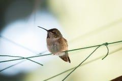 Être perché pelucheux de colibri Photographie stock