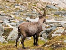 Íbex Imagem de Stock