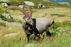 Íbex alpino Foto de Stock