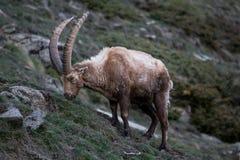 Íbex alpino Imagens de Stock Royalty Free