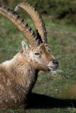 Íbex alpino Imagem de Stock Royalty Free