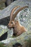 Íbex alpino Fotografia de Stock Royalty Free