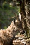 Íbex alpino, capricorn Imagens de Stock