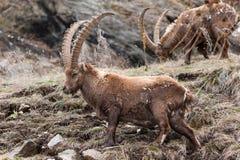 Íbex alpino masculino Foto de Stock Royalty Free