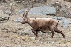 Íbex alpino masculino, em uma inclinação de montanha Fotografia de Stock Royalty Free