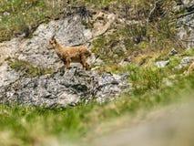 Íbex alpino novo Imagens de Stock Royalty Free