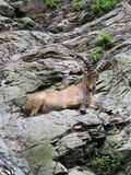 Íbex caucasiano imagem de stock