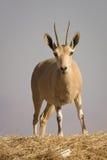 Íbex de Nubian Fotos de Stock