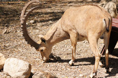 Íbex de Nubian Imagens de Stock