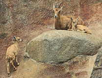 Íbex de Nubian Imagens de Stock Royalty Free
