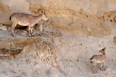 Íbex de Nubian com sua vitela Foto de Stock Royalty Free