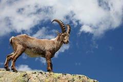 Íbex do Capra Fotografia de Stock Royalty Free
