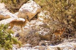 Íbex e jovem corça em Ein Avdat Imagem de Stock