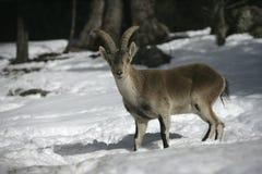 Íbex espanhol ou ibérico, pyrenaica da cabra Imagem de Stock