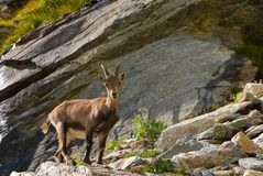 Íbex na pedra em animais selvagens da fauna do parque nacional de Gran Paradiso, montanhas dos cumes de Itália fotos de stock royalty free