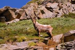 Íbex na pedra em animais selvagens da fauna do parque nacional de Gran Paradiso, montanhas dos cumes de Itália imagens de stock