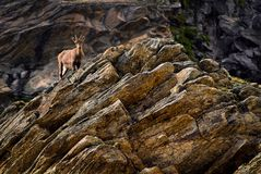 Íbex novo em uma rocha em animais selvagens da fauna do parque nacional de Gran Paradiso, montanhas dos cumes de Itália fotografia de stock