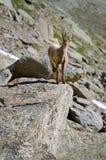 Íbex novo na pedra de uma montanha rochosa em animais selvagens da fauna do parque nacional de Gran Paradiso fotos de stock