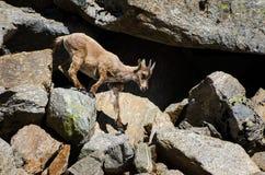 Íbex novo na pedra de uma montanha rochosa em animais selvagens da fauna do parque nacional de Gran Paradiso foto de stock