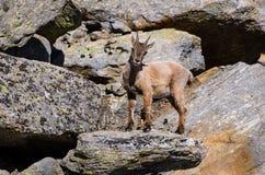 Íbex novo na pedra de uma montanha rochosa em animais selvagens da fauna do parque nacional de Gran Paradiso imagens de stock royalty free