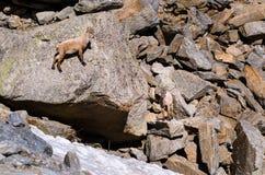 Íbex novo na pedra de uma montanha rochosa em animais selvagens da fauna do parque nacional de Gran Paradiso foto de stock royalty free