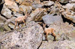 Íbex novo na pedra de uma montanha rochosa em animais selvagens da fauna do parque nacional de Gran Paradiso imagem de stock