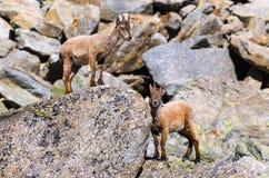 Íbex novo na pedra de uma montanha rochosa em animais selvagens da fauna do parque nacional de Gran Paradiso imagem de stock royalty free