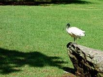Íbis brancos australianos Fotografia de Stock