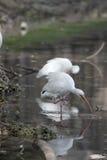 Íbis brancos que riscam e que enfeitam-se refletidos em uma lagoa tranquilo Imagem de Stock Royalty Free