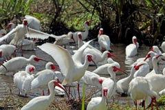 Íbis que banham-se em uma lagoa na costa do golfo de Florida Fotos de Stock Royalty Free