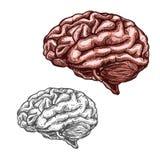 Ícone do esboço do vetor do cérebro do órgão humano ilustração royalty free