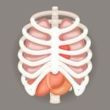 Ícones dos órgãos de Iinternal do estômago de Rib Cage Lungs Heart Liver e ilustração retro do vetor do projeto dos desenhos anim Imagens de Stock Royalty Free