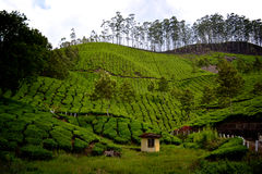 Índia arquivada chá Imagem de Stock Royalty Free