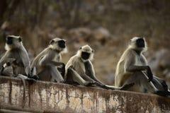 Índia de Galta Macaco imagem de stock