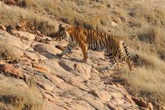 Índia de Ranthambore Caça selvagem do tigre Fotografia de Stock