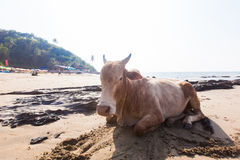 Índia, uma vaca na praia, palmeiras e montanhas imagens de stock
